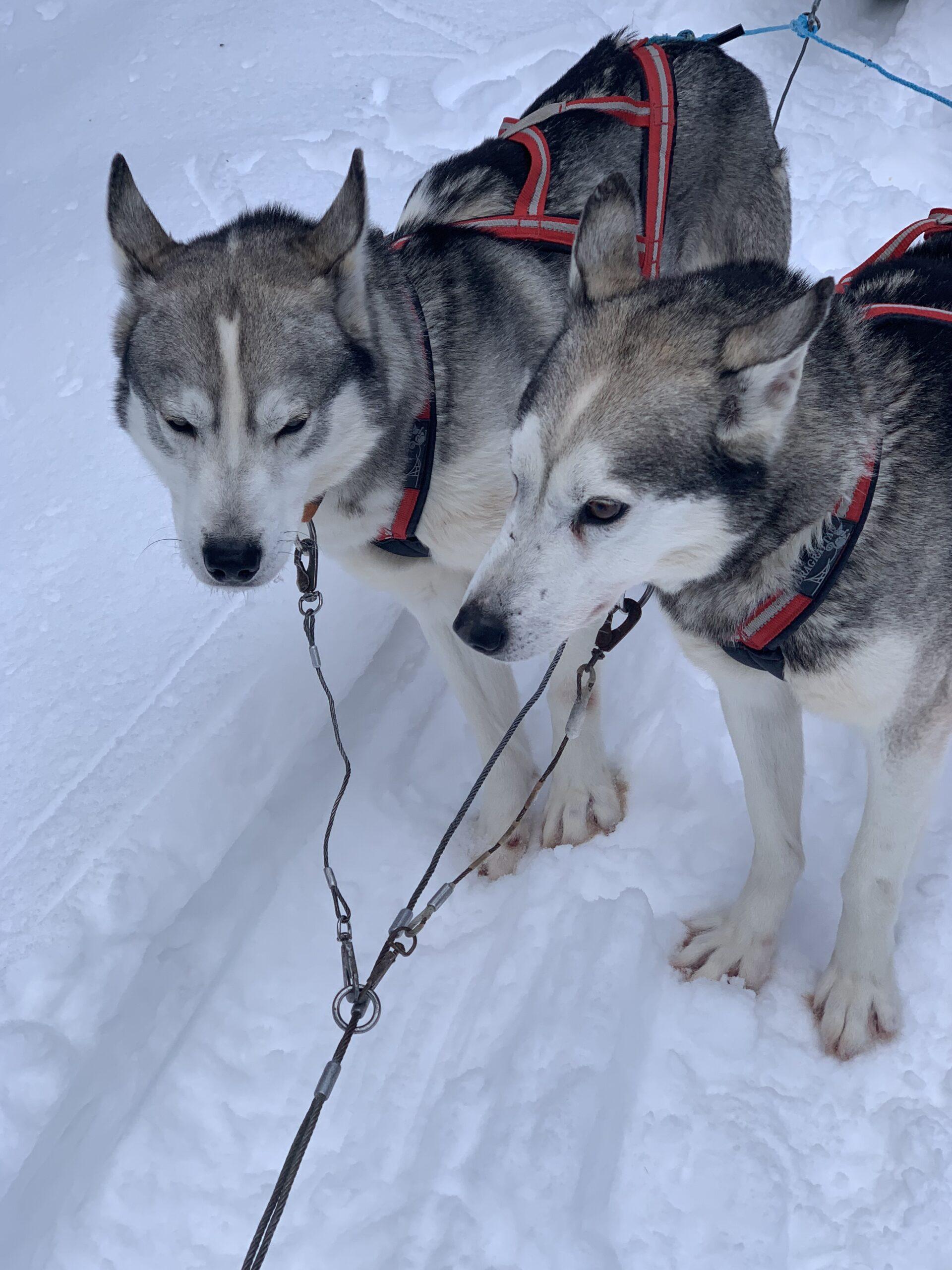Jokkmokk_Midwinter_Dogsled