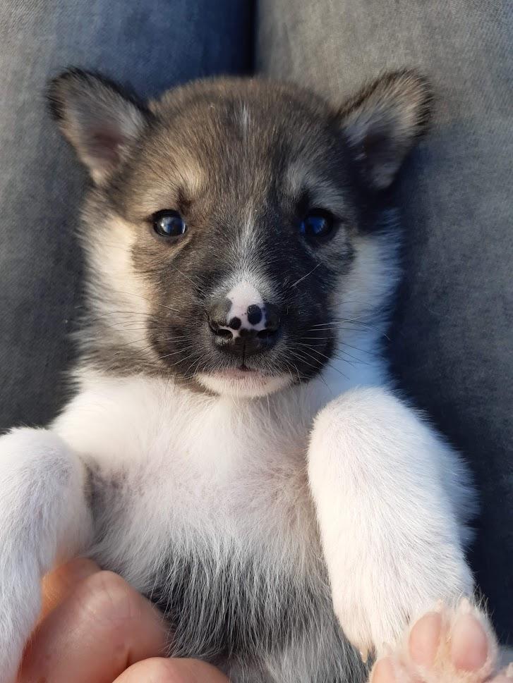 Puppy ligt op schoot